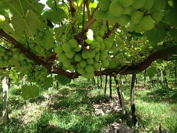 Vigna Mazon, vinícola em Urussanga
